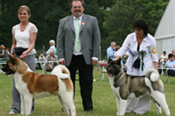 Akita dogs - Mikey and Champion Sophie